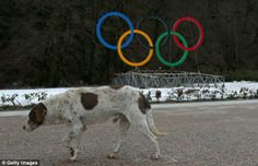 Stray dogs rounded up and killed in Sochi ahead of olympics. Im going to sochi and shooting thousands of bottles of vodka in the streets, president putin amd the Russian people would be horrified..animals wrything in pain don't horrify them. They have no compassion, no gag reflex, not even a natural instinct that its wrong to see something suffer. Ugh..Said pinner.   Horrific said me