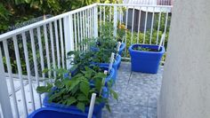 17 days since planting and the container garden is doing well. Notice the chicken wire 'trellis' over the railing so the pickle cukes can grow  vertical.  They've already started attaching!