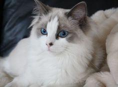 ragdoll cat | zoe.