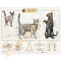 This #Feline Skeletal Anatomy wall chart illustrates the skeleton of a cat in full colour detail. This medically accurate #cat #skeleton poster would be ideal for display in a veterinary student classroom or a #veterinary practice for owner information.