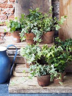 Hedera ~ ivy in rustic pots Ivy Plants, Cool Plants, Moss Garden, Garden Pots, House Plants For Sale, Purple Plants, Plants Delivered, Pot Jardin, Outdoor Pots