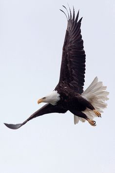 Bald Eagle is the most powerful flier in our world. - You may like video: https://www.youtube.com/watch?v=QTzXyhlQUy4 - Image Source: http://www.flickr.com/photos/frostybrandx/4599168277/
