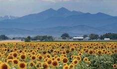 Berthoud, Colorado we lived 3 miles from this picture. We would park like everyone else all alone the road to get pictures of these sunflowers...You can see Longs Peak and Mount Meeker.