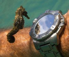 #Seahorse Checks Out #Reflection In #Watch