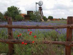 Texas Bluebonnets.....