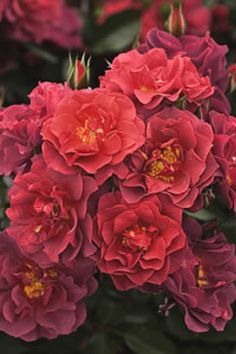 2009 All-America Rose Selections Winner! Cinco de Mayo Rose defies color description with its mysterious blending of rusty red, tangerine-orange, fiery magenta, and smoked lavender blooms. Since it is