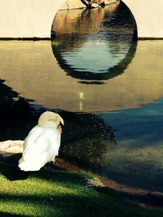 Swan in Hawaii Photo by Erin Rutz