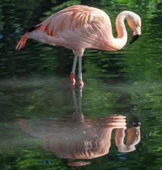 chilean flamingos, Canadian Nature, Calgary, Landscape, Animals, Scenery, Animales, Animaux, Animal, Animais