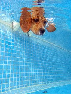 Tomasa buza by Leo Espinosa, via Flickr - Beagle