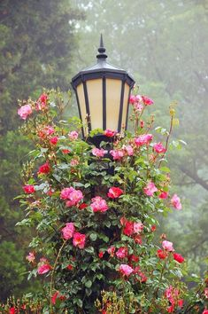 Climbing roses on a gorgeous lamp post...