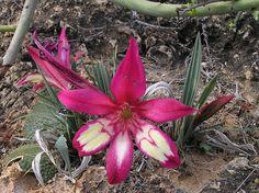 Babiana carminea ( Iridaceae ) http://labs.eeb.utoronto.ca/barrett/Floral_Study-systems/3.-Babiana-carminea-flower-820.jpg