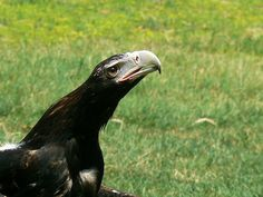 Largest Bird of Prey Ever | Recent Photos The Commons Getty Collection Galleries World Map App ...