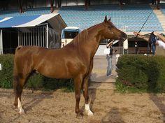 El primer concurso morfológico internacional de Galicia reúne 46 caballos árabes en Silleda.  Ver más: https://www.facebook.com/Foro-Horses-729255127151667/