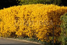 Forsythia hedge on suburban street.