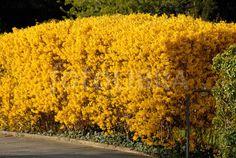 Forsythia hedge on suburban street.