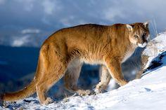 Puma Walking the Higher Mountainside.