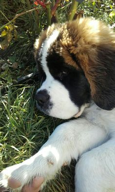 Pinterest ~ manishshadangi Cute Dogs And Puppies, Big Dogs, Kittens And Puppies, I Love Dogs, Doggies, Cute Puppy Photos, Dog Backyard, St Bernard Puppy, Dog Rules