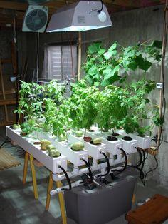 Indoor hydroponic garden under HID Metal Halide plant grow light.