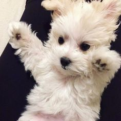 Maltese and Children: Is It a Good Combination - Champion Dogs Teacup Puppies, Cute Puppies, Cute Dogs, Dogs And Puppies, Doggies, Westie Puppies, Havanese Dogs, Animals And Pets, Baby Animals