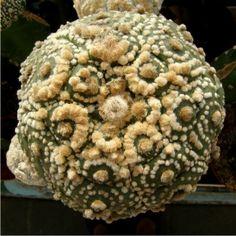 StarAstrophytum.com Surat Thani, Cacti, Succulents, Gardens, Fruit, Amor, Exotic Flowers, Plants, Cactus Plants