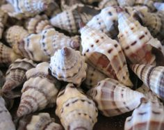 Heliacus Snail Shells 10 Coastal Home Decor by LiveCoastal