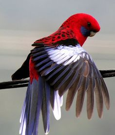 Crimson Rosella Parrot with wing spread =)