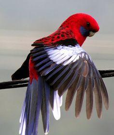Crimson Rosella Parrot  boldly brilliant beauty