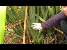 Lesson 32 How to harvest & clean your Flax Bush Flax Weaving, Basket Weaving, Hand Weaving, Palm Garden, Eco Garden, Leaf Projects, Weaving Projects, New Zealand Flax, Flax Flowers
