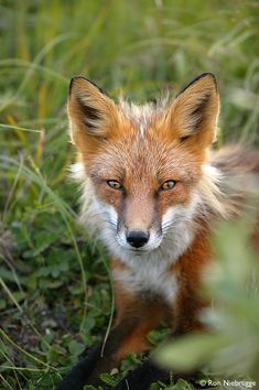 Red Fox , Denali National Park, Alaska,