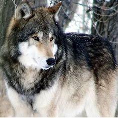 Wolf...majestic