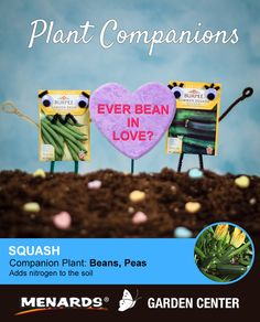 Beans and summer squash make a great pair! Learn how companion planting will help you get more from your garden. http://www.menards.com/main/c-19320.htm?utm_source=pinterest&utm_medium=social&utm_campaign=gardencenter&utm_content=companion-plants&cm_mmc=pinterest-_-social-_-gardencenter-_-companion-plants