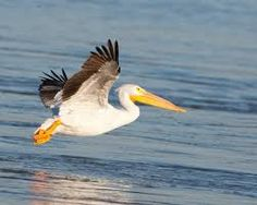 pelican images - Google Search