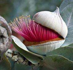 Aromas do Cumbuco: FLOR DE EUCALIPTO - BELEZA EXÓTICA