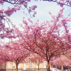 My school is prettier than yours  #spring #blossom #university #sunnyday by rollyolivia