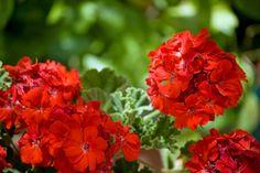 How To Grow And Care For Geraniums -Northern Hemisphere Geraniums Garden, Red Geraniums, Petunias, Geranium Care, Common House Plants, Cactus, Flower Pots, Flowers, Garden Items