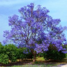 jacaranda tree...my fav...it carpets the ground with the foliage as it sheds