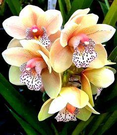 Beautiful Rose Flowers, Flowers Nature, Exotic Flowers, Tropical Flowers, Amazing Flowers, Flower Drawing Images, Flower Pictures, Orquideas Cymbidium, Strange Flowers