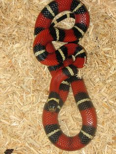 Mexican Milk Snake-have Pretty Snakes, Cool Snakes, Colorful Snakes, Beautiful Snakes, Milk Snake, Super Snake, Vertebrates, Reptiles And Amphibians, Tortoises