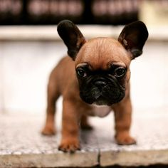 Teacup French Bulldog for sale http://www.frenchbulldogbreed.net/puppy-for-sale.html