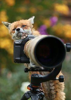 Red Fox by DG Wildlife - Dalia Kvedaraite and Giedrius Stakauskas