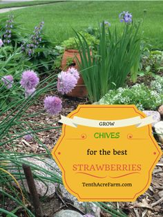 Grow Chives for the Best Strawberries: An unlikely combination, chives support the growth of strawberries and add beautiful flowers too!