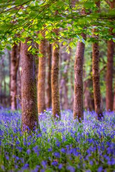 Bluebells, Soudley, Gloucestershire, England by Joe Daniel Price Flowers Nature, Wild Flowers, Beautiful Flowers, Beautiful World, Beautiful Places, Beautiful Pictures, Landscape Photography, Nature Photography, Mystical Forest