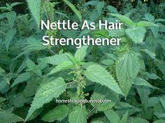 Nettle As Hair Strengthener! More info here: http://homesteadingsurvival.com/nettle-as-hair-strengthener/