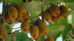 Viete, ako pestovať kivi? Poradíme Kiwi, Pear, Fruit, Garden, Flowers, Balcony, Garten, Lawn And Garden, Gardens