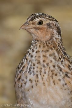 Avian breast meat deterioration in quail