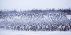 Exclusive Interview: Photographer Nicolas Dory Documents the Mass Migration of Canada's Only Free-Range Reindeer Herd - My Modern Met