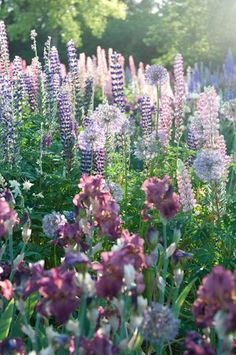 Cottage garden with lupine and allium and Iris 'Rip City' on early summer morning