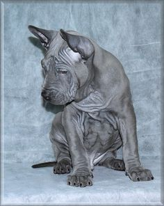 TRD puppy PLUMS´JEWEL