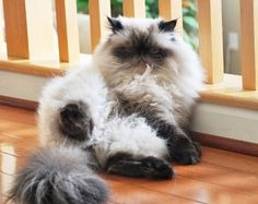 Persian Cat cute fluffy Himalayan cat pic - In this article you will find some flat faced cat breeds that you can take care, keep, and affection. You need to remember, do not forget to give meal. Himalayan Persian Cats, Himalayan Cat, Pretty Cats, Beautiful Cats, Animals Beautiful, Fluffy Animals, Animals And Pets, Cute Animals, Kittens Cutest