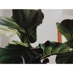Fiddle Leaf Fig | Ficus Lyrata